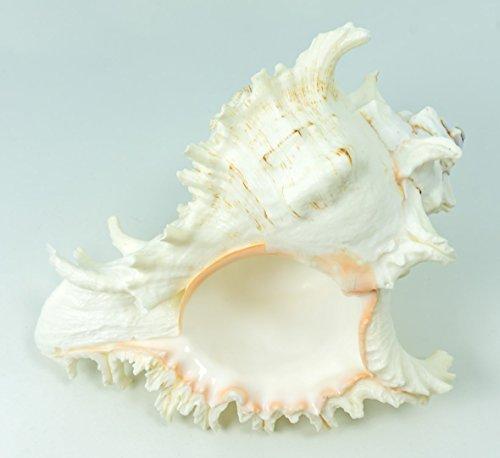 Murex Ramosus Shell | 1 Murex Sea Shell | 7-9″ Extra Large